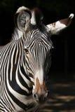 Зебра Grevy (grevyi Equus), также известная как имперская зебра Стоковое Изображение