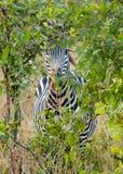 Зебра hding в пастбище куста в национальном парке Hwange, Зимбабве Стоковые Изображения RF