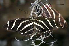 зебра heliconius charithonia heliconian Стоковые Фото