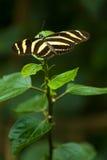 зебра heliconius charithonia longwing Стоковая Фотография