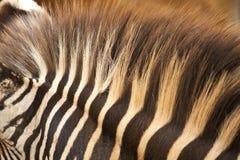 зебра i Стоковое Изображение RF
