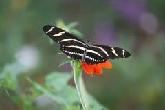 Зебра Longwing Стоковые Изображения RF