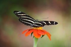 Зебра Longwing Стоковые Изображения