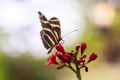 Зебра longwing feedi бабочки charitonius Heliconius тропическое Стоковое Фото