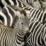 зебра masai Кении mara табуна Стоковое фото RF