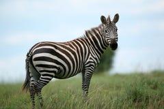 зебра masai Кении mara Стоковая Фотография