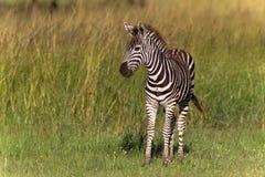 зебра phinda новичка стоковая фотография rf