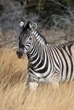 зебра quagga Намибии equus Стоковые Изображения RF