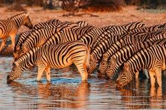 Зебра (quagga Equus) в национальном парке Etosha Стоковые Фотографии RF