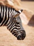 Зебра (Quagga Equus) Стоковые Изображения RF