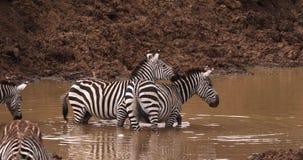 Зебра ` s Grant, boehmi burchelli equus, группа на Waterhole, парке Найроби в Кении видеоматериал