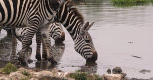 Зебра ` s Grant, boehmi burchelli equus, группа на Waterhole, парк Найроби в Кении, акции видеоматериалы