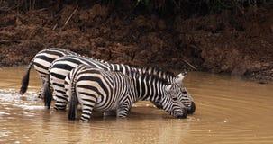Зебра ` s Grant, boehmi burchelli equus, группа на Waterhole, парк Найроби в Кении, видеоматериал