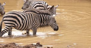 Зебра ` s Grant, boehmi burchelli equus, табун на waterhole, парк Найроби в Кении, сток-видео