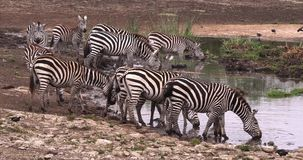 Зебра ` s Grant, boehmi burchelli equus, табун на waterhole, парк Найроби в Кении, видеоматериал
