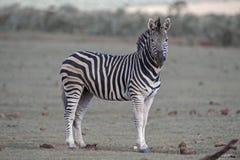 Зебра Sentinal Стоковое Изображение