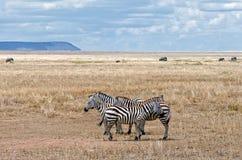 Зебра, Serengeti Стоковые Фото