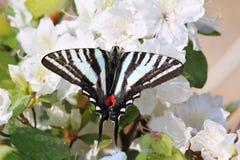 зебра swallowtail стоковое фото
