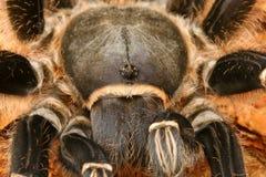 зебра tarantula Стоковые Фотографии RF