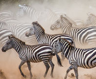 Зебры бегут в пыли в движении Кения Танзания Национальный парк serengeti masai mara Стоковые Фото