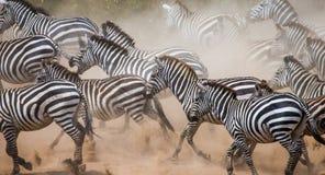 Зебры бегут в пыли в движении Кения Танзания Национальный парк serengeti masai mara Стоковое Изображение RF