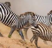 Зебры бегут в пыли в движении Кения Танзания Национальный парк serengeti masai mara Стоковое Фото