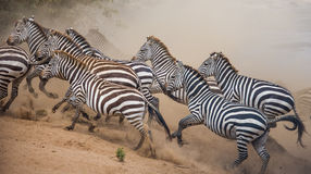 Зебры бегут в пыли в движении Кения Танзания Национальный парк serengeti masai mara Стоковые Изображения RF