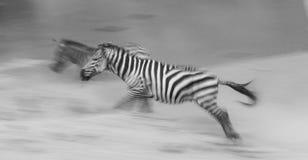 Зебры бегут в пыли в движении Кения Танзания Национальный парк serengeti masai mara Стоковая Фотография RF