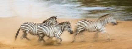 Зебры бегут в пыли в движении Кения Танзания Национальный парк serengeti masai mara Стоковые Фотографии RF