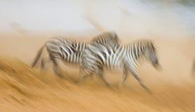 Зебры бегут в пыли в движении Кения Танзания Национальный парк serengeti masai mara Стоковое Изображение