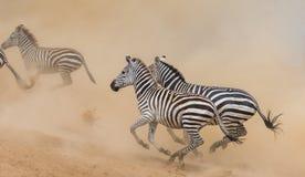 Зебры бегут в пыли в движении Кения Танзания Национальный парк serengeti masai mara Стоковое фото RF