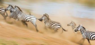 Зебры бегут в пыли в движении Кения Танзания Национальный парк serengeti masai mara Стоковая Фотография