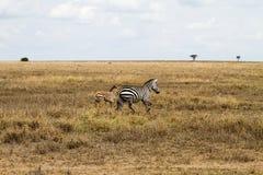 Зебры бежать в Serengeti, Танзании Стоковые Изображения