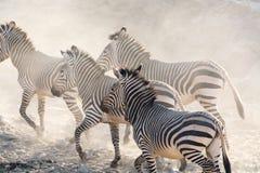 Зебры бежать, Намибия, Африка Стоковое фото RF