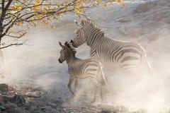 Зебры бежать, Намибия, Африка Стоковые Фотографии RF