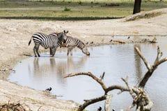 Зебры водой в национальном парке Tarangire, Танзании Стоковое Изображение RF