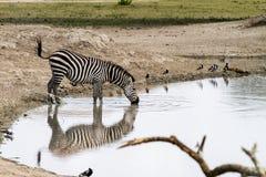 Зебры водой в национальном парке Tarangire, Танзании Стоковая Фотография RF