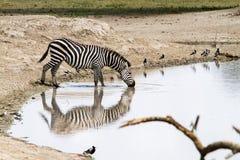 Зебры водой в национальном парке Tarangire, Танзании Стоковое Изображение