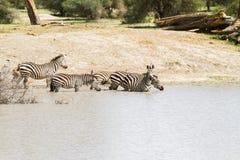 Зебры водой в национальном парке Tarangire, Танзании Стоковая Фотография