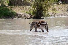 Зебры водой в национальном парке Tarangire, Танзании Стоковые Фотографии RF