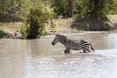Зебры водой в национальном парке Tarangire, Танзании Стоковое Фото
