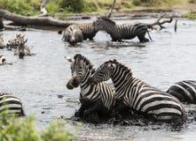 Зебры воюя в реке, Serengeti, Танзании Стоковые Изображения RF