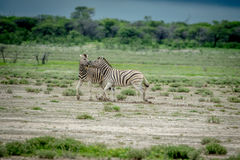 2 зебры воюя в траве Стоковые Фото