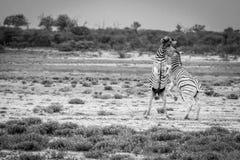 2 зебры воюя в черно-белом Стоковая Фотография RF