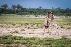 2 зебры воюя в Etosha Стоковая Фотография RF