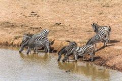 Зебры выпивая на водопое, Южной Африке Стоковые Изображения