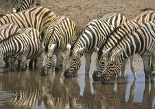 Зебры выпивая на waterhole Стоковое Изображение RF