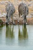 2 зебры выпивая на waterhole Стоковое Фото