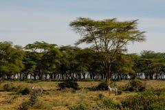 Зебры в африканском savana Стоковая Фотография RF