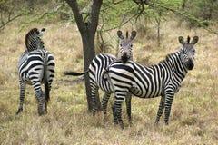 Зебры в Африке Стоковая Фотография RF